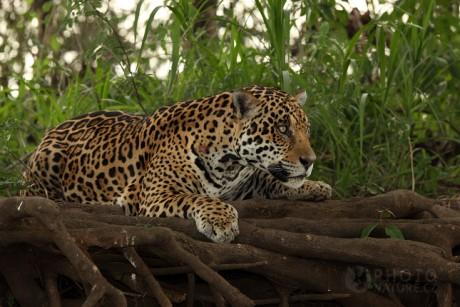 Jaguar on Ma  Kovit     Elmy   Fotoalbum   Jagu  R Americk     Jaguar009