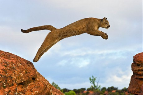 Puma Americká Cena